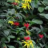 Bee-Balm (Monarda didyam) and Coneflower (Rudbeckia laciniata var. humilis), Newfound Gap Road