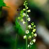 Bishop's Cap (Mitella diphylla), Chestnut Top Trail