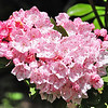 Mountain Laurel (Kalmia latifolia), Rich Mountain Loop Trail
