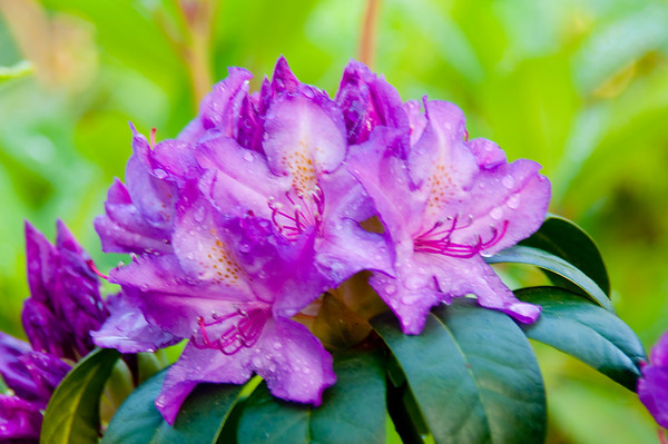 Sonoma Horticultural Society and Gardens - specializing in Rhododendrons and Azaleas