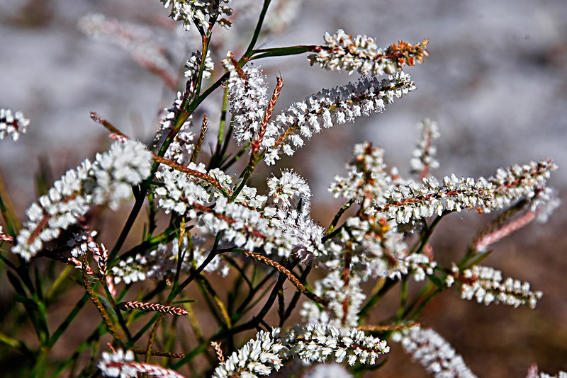 White Weed Flowers_U8S0139