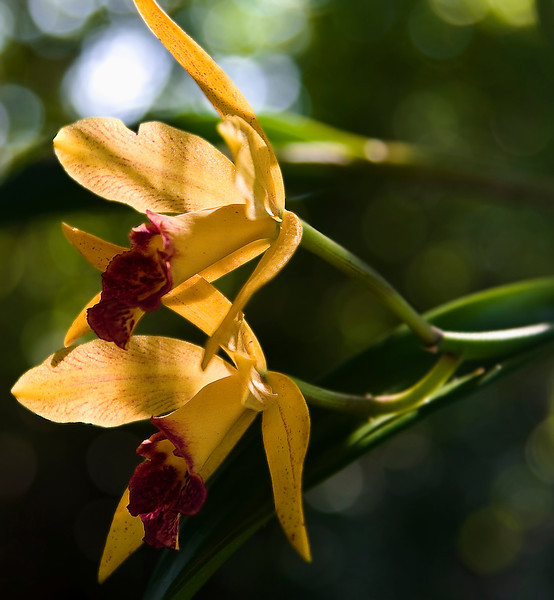 Yellow Orchid_ JU8S0869