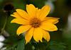 Giant Daisy_ JU8S2782