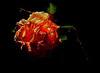 Rose 11_8956