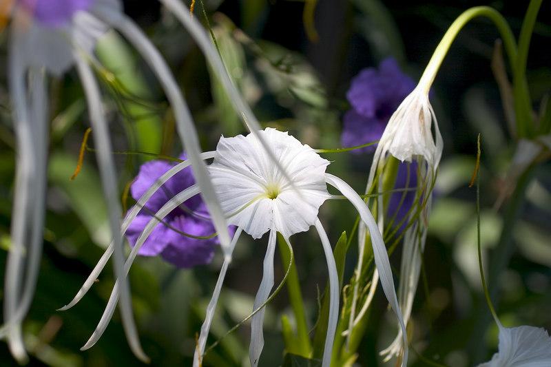 Mex Petunias & Lillies 2_7246