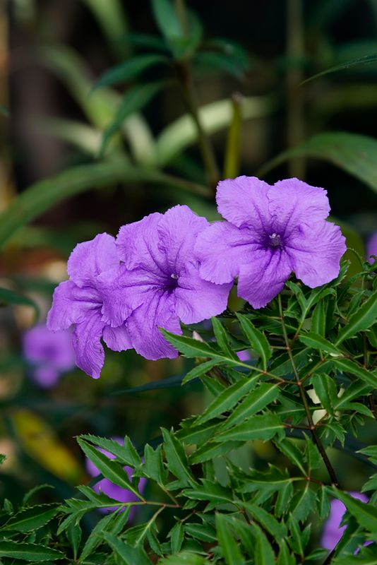 Three-Mex-Petunias_7846