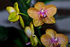 Red Yellow Speckled Orchid_JU8S0738