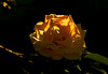 Yellow Rose_MG_8947