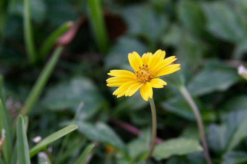 Yellow Weed Flower_3306