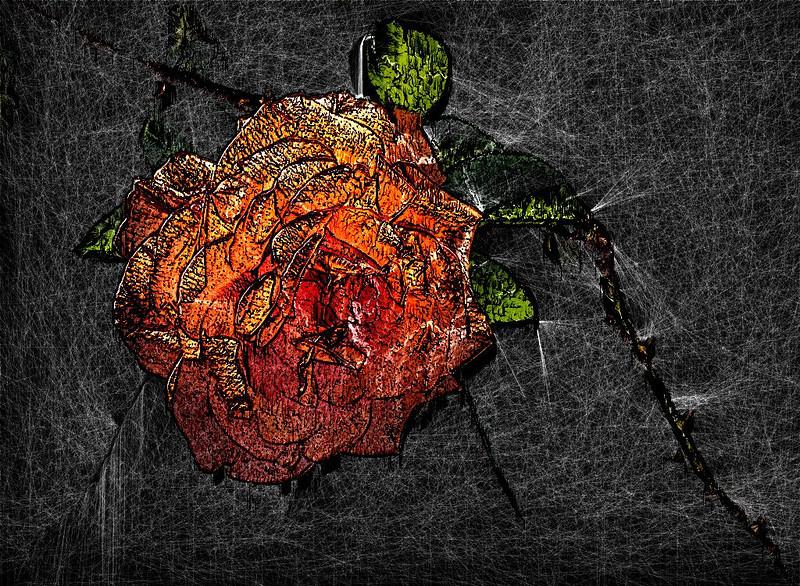 Rose 09_8956