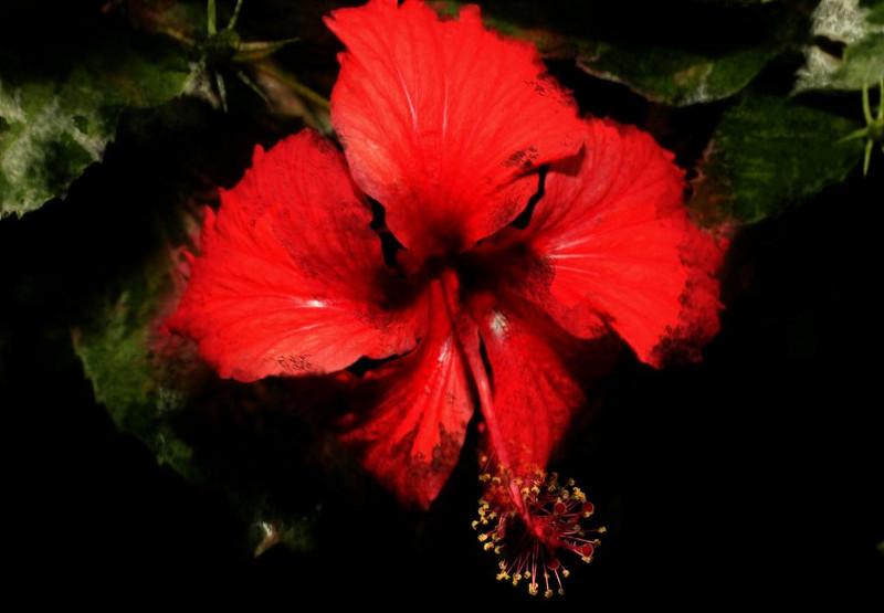 Hibiscus 00