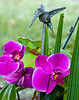 Purple Orchid_ JU8S1852