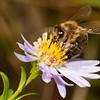 Biene auf Berg-Aster