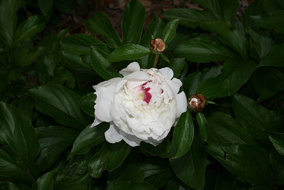 First bloom for the Peony - April 24, 2008.