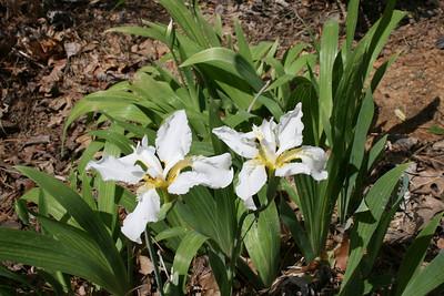 Iris - April 2008.