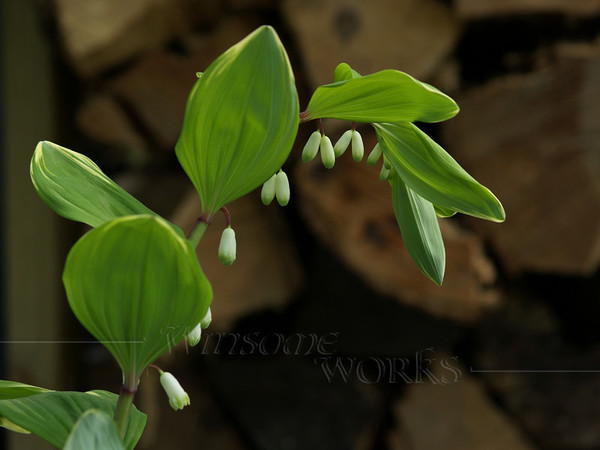 Variegated Solomon's Seal with Woodpile