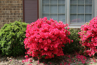 Hot pink Hino-Gerardo azaleas in front of the house - April.