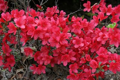 Azaleas - April.