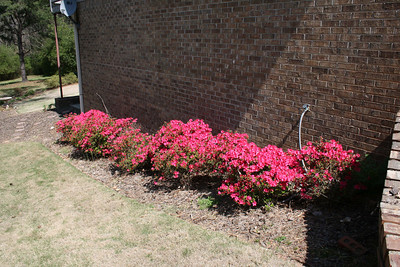 Azaleas along side the house - March.
