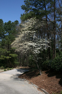 Dog Wood Tree - March.