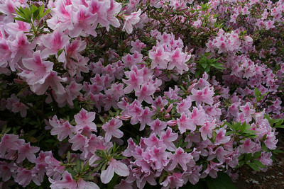 Close up of azaleas in the backyard - April.