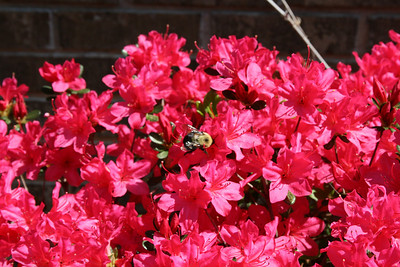 Bumble bee in the Azaleas along side of the house - March.