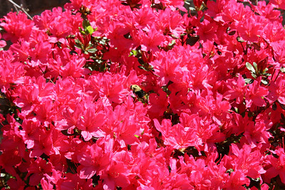 Azaleas along side the house with a bumble bee - March.