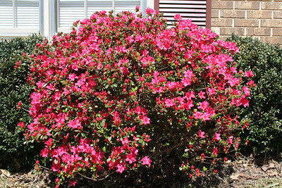 Azaleas in the front of the house - March.