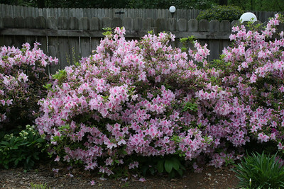 Azaleas in the backyard - April.