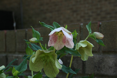 Lenten Roses with some pink - March.