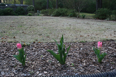 Two pink tulips - March.
