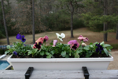 Pansies - March.