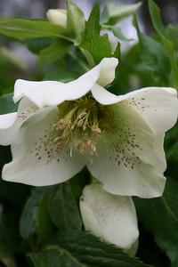 Lenten Rose - March.