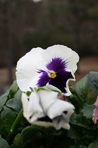 Pansy - March.