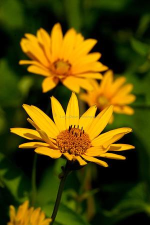 Tickseed daisy