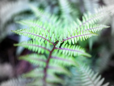 Mountain Fern