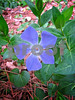 Perfect periwinkle, back yard