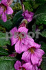 DSC_0264BEST Pink Trumpet VT FS, OS