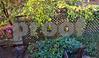 Carolina Jessamine and azaleas, side yard