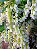 Pieris japonica, back yard