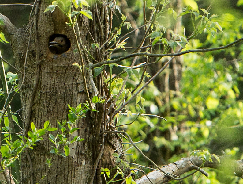The Red headed woodpeckers are nesting in a new bored hole.