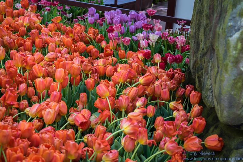 IMAGE: https://photos.smugmug.com/Flowers/Spring-2015-Bellagio-Hotel/i-sSLNtML/0/47420902/L/DSC08247-L.jpg