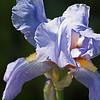 Iris at NYBG