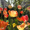 Tulips on the Bradway median at 120th St..