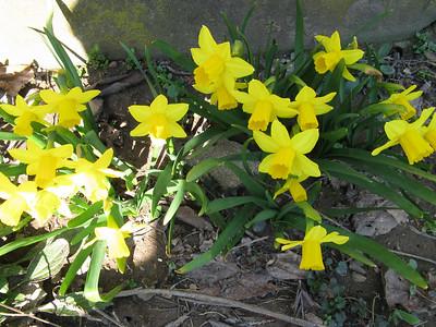 Spring Daffodils Karen's March 2010