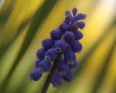 Grape hycacinth  (Muscari)  - our backyard, Quakertown, PA