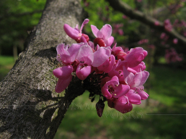 """Cercis canadensis """"Forest Pansy"""" (redbud)"""