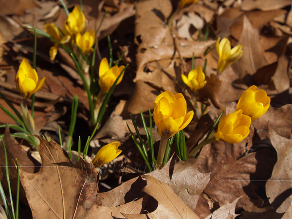Yellow Crocus in dried leaves; March, Sellersville, PA