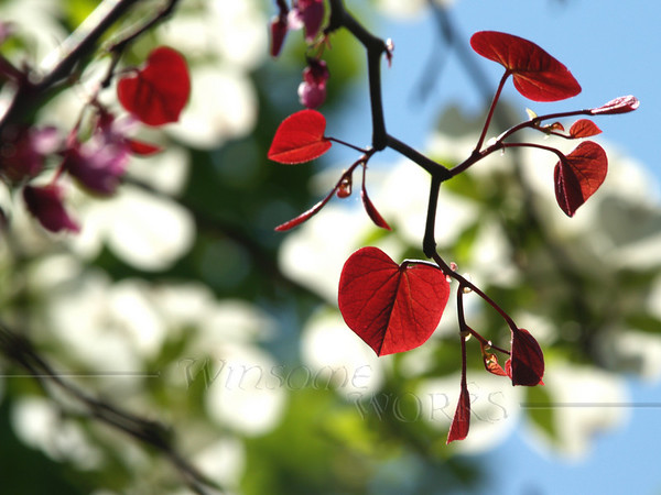 """Cercis canadensis """"Forest Pansy"""" (redbud tree) with back-lit leaves. Dogwood in bkgd."""