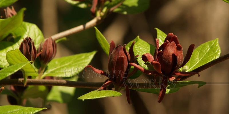 Spicebush (Calycanthus occidentalis)